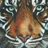 'Sumatran Tiger'